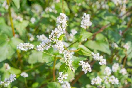 Flowers in inflorescences of a buckwheat on field closeup