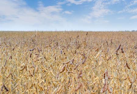 空の背景、成熟した大豆のフィールド