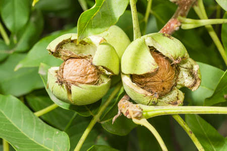 Three ripe walnuts inside their cracked green husks on walnut tree in an orchard
