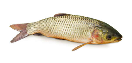 Freshly caught grass carp on a white background closeup