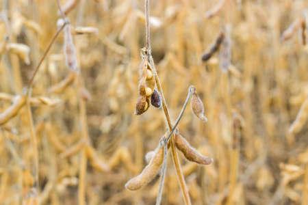 ダイズ茎フィールドの背景に毛状の莢のクローズ アップの成熟した大豆フルーツ添え 写真素材