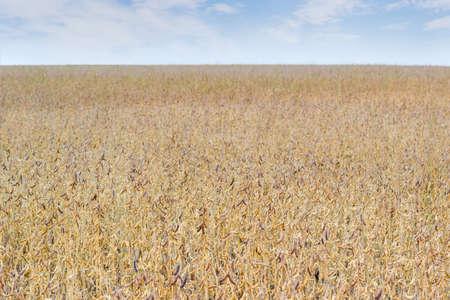 空の背景に成熟した大豆とフィールドのフラグメント 写真素材