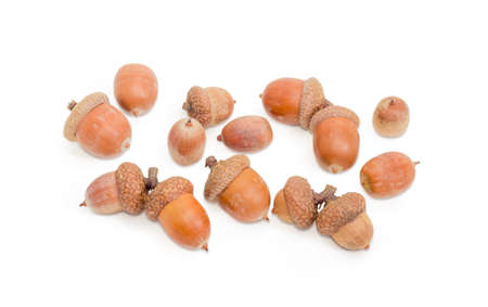 Several ripe acorns, some of which in their cuplike cupules on a white background