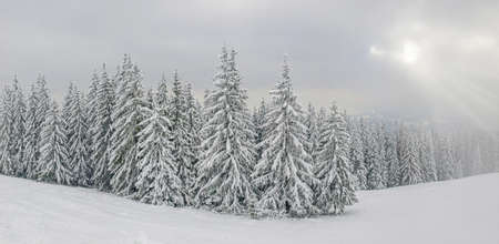 Edge of the forest with spruce trees covered with snow on mountain slope in the Carpathian Mountains during snowfall