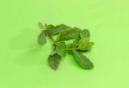 Twig of the fresh spearmint - species of mint,  closeup on a green background