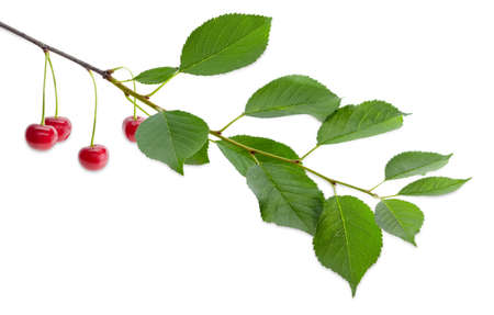 Branch of cherry with several ripe red berries and green leaves on a white background