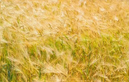 Background of a fragment of the field with ripening barley at summer day at selective focus