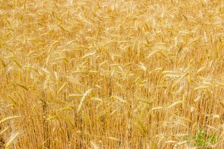 Fragment of a field of ripe wheat in summer day closeup