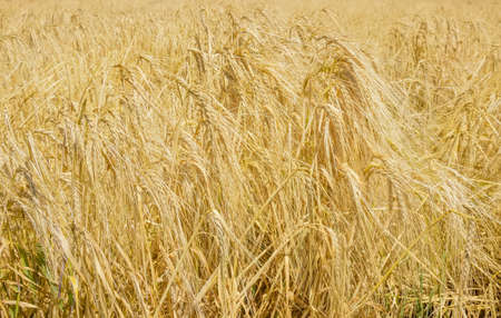 Fragment of the field of the ripening barley at selective focus