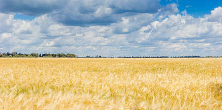 Panorama of the big field with ripening barley on a background of the sky with clouds at summer day
