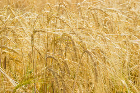 Ripening barley on the field closeup at selective focus  Stock Photo
