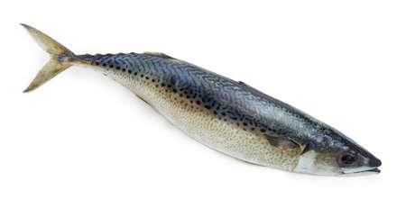 Uncooked whole Atlantic chub mackerel closeup on a white background Standard-Bild