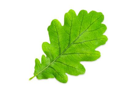 Single green leaf of white oak also known as  common oak, European oak or English oak with smooth margins on a white background