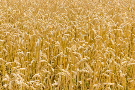 Background of a fragment of the field with ripe wheat at summer day at selective focus