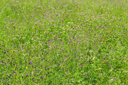 Field of the flowering alfalfa and red clover with other plants close-up at selective focus