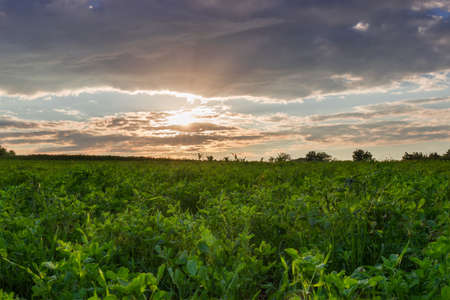 Field of the young alfalfa on background of the sky with clouds at sunset
