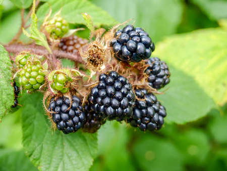 Ripe and unripe berries of the wild blackberry on a bush close-up at selective focus Reklamní fotografie