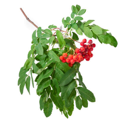 Branch of rowan also known as mountain ash with cluster of red berries and green leaves on a white background Stock Photo
