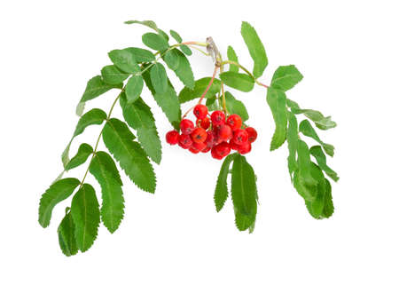 Branch of Sorbus aucuparia also known as rowan or mountain ash with cluster of red berries and green leaves on a white background Stock Photo