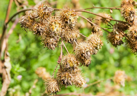 Dry burdock with prickly seed heads at selective focus on a blurred background Stock Photo