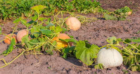 Varicolored pumpkins among of stems and leaves growing on the field against of other vegetables in morning Stock Photo