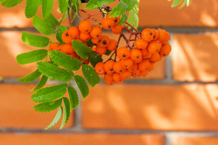 Cluster of rowan berries on tree at selective focus on blurred background of orange brick wall