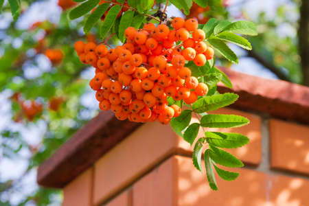 Cluster of rowan berries on tree at selective focus on blurred background of brickwork and tree Stock Photo
