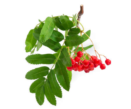 Branch of rowan also known as mountain ash with cluster of red berries and green leaves hanging down on a white background
