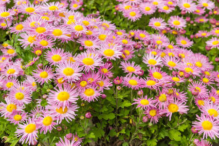 Flowering pink with yellow chrysanthemums on the flower bed Foto de archivo