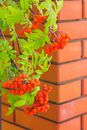 Rowan branches with clusters of berries and dew drops at selective focus on blurred background of orange brick wall