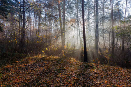 Fragment of the deciduous and conifers forest with sun beams in fog at autumn morning
