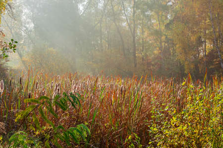 Reed mace on a forest overgrown lake at autumn morning Stock Photo