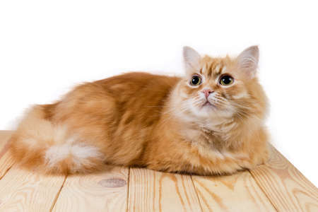 Fluffy ginger cat lying on surface of light colored wooden planks and looking up on a white background Imagens