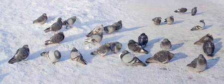 Panorama of a flock of the different street pigeons sitting on the city square, covered with snow and rime during a severe frost