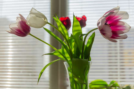 Bouquet of multicolored tulips with leaves in glass flower vase on a blurred background of window with horizontal blinds at shallow depth of field