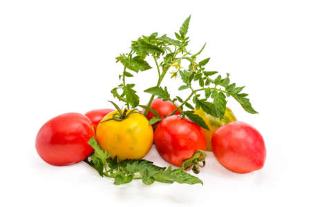Pile of different yellow and red tomatoes and twigs of tomato plant with leaves and flowers on a white background
