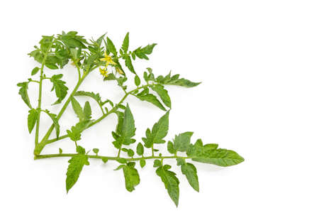 Small fresh branches of the tomato with flowers and leaves located left and down on a white background, Close-up, background Stock Photo