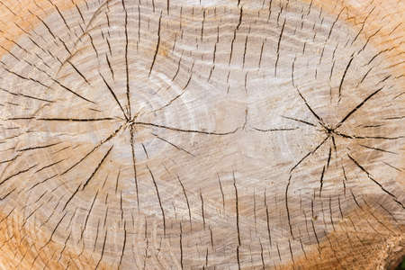 Background of the transverse cut of the elm tree trunk in the place of bifurcated, close-up in selective focus