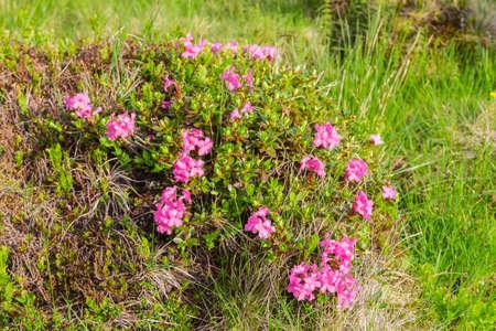 Evergreen bush of flowering Rhododendron myrtifolium, also known as rhododendron Carpathian, ukranian popular name - Chervona Ruta. Widespread in the Carpathian region