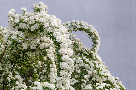 Top part of flowering spiraea bush, Grefsheim variety with bent branches covered with clusters of small white flowers on a gray background Banque d'images - 124065408
