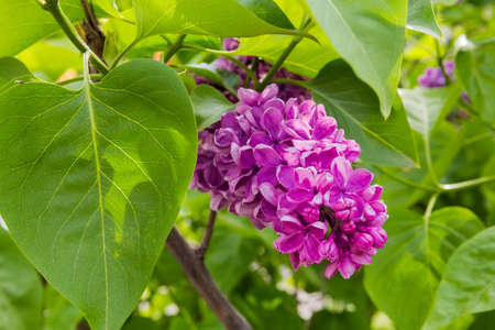 Inflorescence of the purple lilac among foliage close-up in selective focus Stock Photo