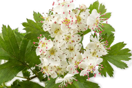 Flowers of the hawthorn on branch close-up against of blurred background of the leaves on a white background in selective focus Banque d'images - 124065486