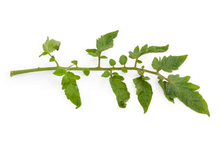 Small fresh branch of the tomato plant with leaves close-up on a white background Stock Photo