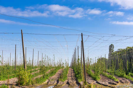 Fragment of the field with young hops planting against of the background of the sky with clouds