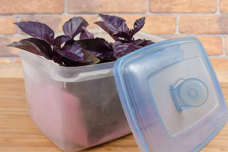 Twigs of the fresh purple basil in plastic container with open blue lid on the wooden surface close-up
