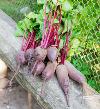 Young red beetroots different shape with stems and leaves on the old wooden plank in selective focus