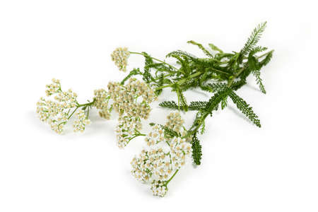 Inflorescences of the yarrow on branches with leaves close-up in selective focus on a light background