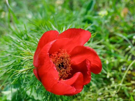 Red flower of the wild growing Paeonia tenuifolia, also known as narrow-leaved peony or steppe peony, top view on a blurred background
