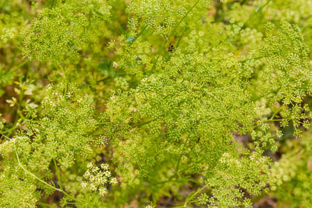 Fragment of the plantation of flowering parsley plants with inflorescences, stems and leaves on a blurred background Фото со стока