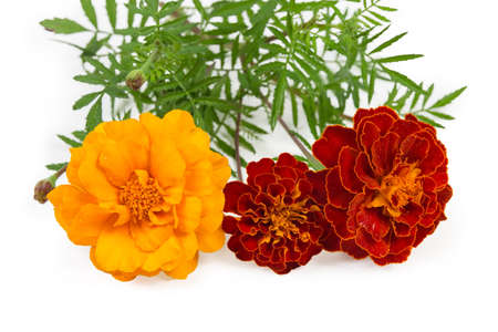 Red and yellow flowers of French marigold on stems with leaves close-up in selective focus on a white background